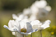 Blossoms of snowdrop anemones, Anemone sylvestris, at sunlight - SRF000702