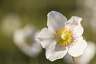 Blossom of snowdrop anemone, Anemone sylvestris - SRF000705