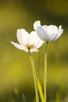 Blossoms of snowdrop anemones, Anemone sylvestris - SRF000647