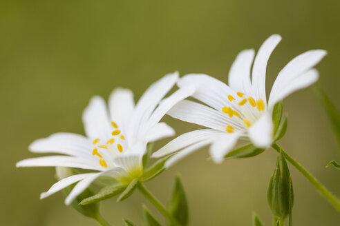 England, Greater Stitchwort, Stellaria holostea - SRF000759