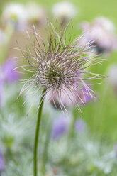 Germany, Pasqueflower, Pulsatilla vulgaris, Seed head - SRF000762