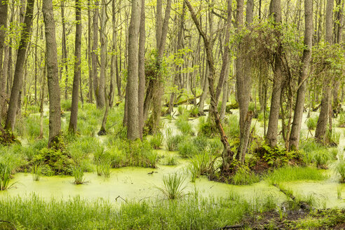 Germany, Mecklenburg-Western Pomerania, Prerow, Linden trees, Swamp - STB000194