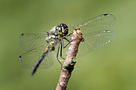 Black darter, Sympetrum danae, sitting on a twig in front of green background - MJOF000585