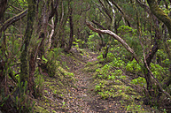 Spain, Canary Islands, Tenerife, laurel forest in the Anaga mountains on the north east coast - RJF000223