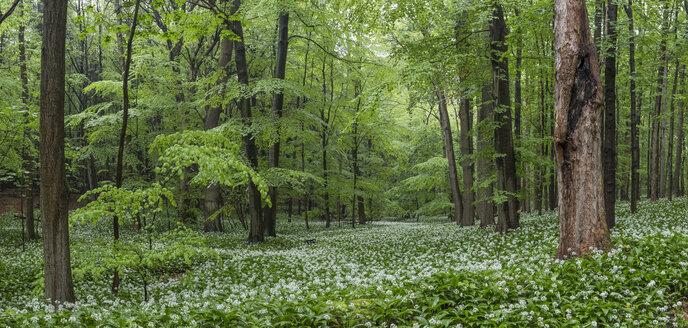 Germany, Lower Saxony, Bad Harzburg, Harz National Park, wild garlic in a forest - PVCF000051