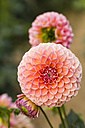 Blossoms and bud of pink dahlias, Dahlia - SRF000680