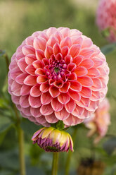 Blossom and bud of pink dahlia, Dahlia - SRF000652