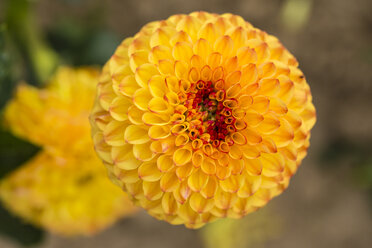Blossom of yellow dahlia, Dahlia - SRF000655