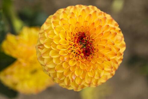 Blossom of yellow dahlia, Dahlia - SRF000655