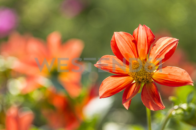 Blossom of red orange dahlia, Dahlia, at sunlight - SRF000657