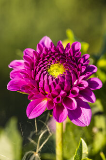 Blossom of pink dahlia, Dahlia, at sunlight - SRF000660
