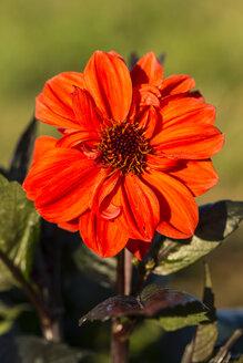 Blossom of red dahlia, Dahlia, at sunlight - SRF000661