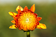 Blossom of orange dahlia, Dahlia, at sunlight - SRF000663