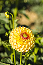 Blossom and buds of yellow dahlia, Dahlia, at sunlight - SRF000674