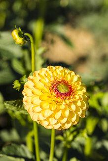 Blossom and buds of yellow dahlia, Dahlia, at sunlight - SRF000674