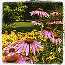 Purple Coneflowers - GWF003064