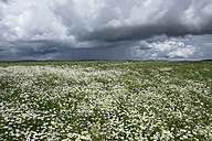 Germany, Constance district, field of oxeye daisies, Leucanthemum vulgare, at stormy atmosphere - ELF001231