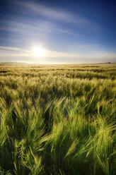 United Kingdom, Scotland, East Lothian, Barley field, Hordeum vulgare, against the morning sun - SMAF000236