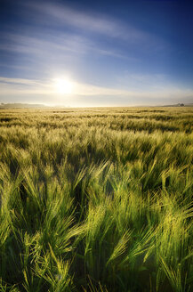 United Kingdom, Scotland, East Lothian, Barley field, Hordeum vulgare, against the morning sun - SMAF000236