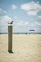 USA, Texas, Laughing gull standing on post at the beach in Port Aransas - ABAF001437