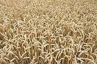 Germany, Baden-Wuerttemberg, Wheat field, Triticum aestivum - ELF001246