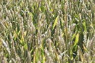 Germany, Baden-Wuerttemberg, Wheat field, Triticum aestivum - ELF001249