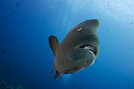 Oceania, Palau, Napoleon fish, Cheilinus undulatus - JWAF000193