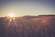 Wheat field, Triticum sativum, at evening twilight - LVF001698