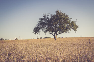 Single tree in wheat field, Triticum sativum, at evening twilight - LVF001705