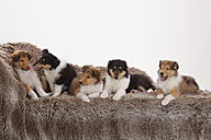 Five rough Collie puppies sitting and lyingon a couch in front of white background - HTF000495
