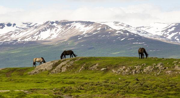 Iceland, three grazing Icelandic horses in landsacpe - FCF000352