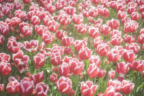 Netherlands, red-white tulips, Tulipa, in Keukenhof - FL000453