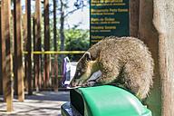 Brazil, Parana, Iguazu National Park, South American coati, Nasua nasua, sitting on a waste bin licking off a paper - FOF006687