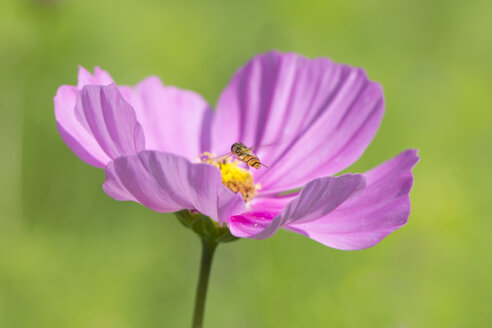 Mexican aster, Cosmea, with hoverfly, Syrphidae - YFF000206