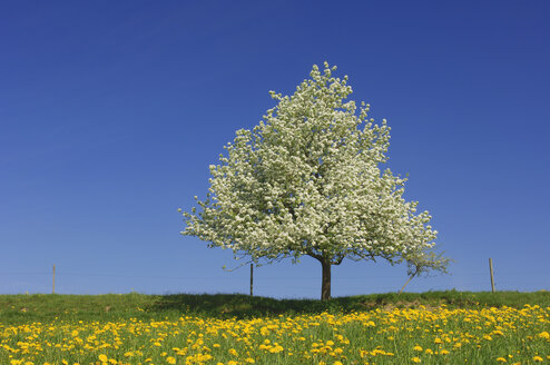 Pear tree on a meadow with dandelions in front of blue sky - RUEF001254