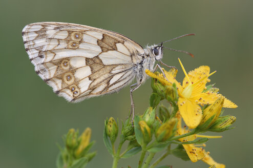 Marbled White, Melanargia galathea, on a yellow blossom in front of green background - RUEF001256