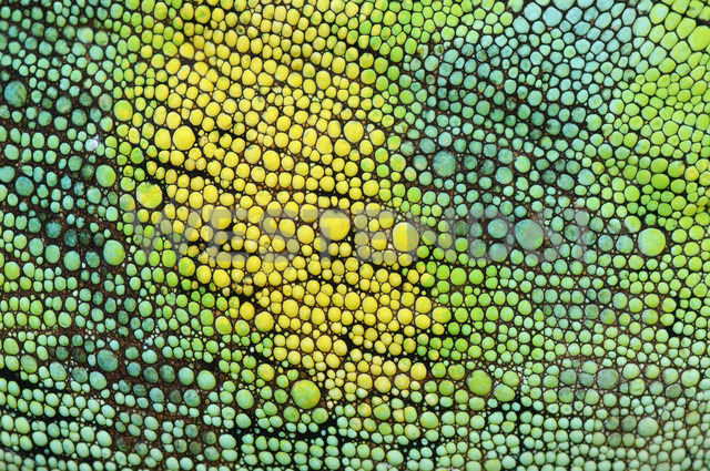 Skin of Johnston's Chameleon, Chamaeleo johnstoni, close-up - RUEF001265
