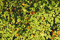 Branch of beech tree leaves - RUEF001269