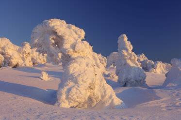 Germany, Saxony-Anhalt, snow-covered Norway spruce trees, Picea abies, at Brocken Mountain by sunset - RUEF001278