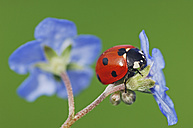 Seven-spot ladybird, Coccinella septempunctata, on blue blossom in front of green background - RUEF001284