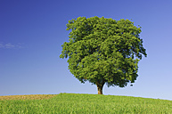Single beech tree on a meadow in front of blue sky - RUEF001286