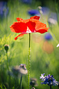 Germany, Bavaria, Poppy, Papaver rhoeas, on meadow - SARF000778