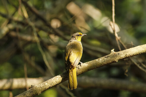 Thailand, Kaeng Krachan, Pycnonotus finlaysoni, striped-throated bulbul - ZC000130