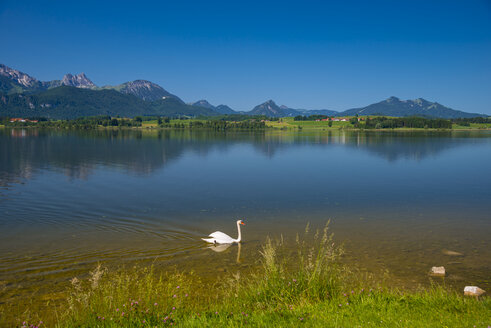 Germany, Bavaria, Allgaeu, East Allgaeu, Lake Hopfensee, near Fuessen, Mute swan, Cygnus olor, Male animal - WGF000408