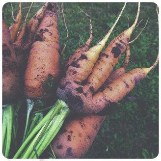 Carrots in garden - SHI000031