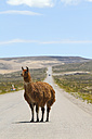 South America, Peru, Andes, Free-ranging llama, Lama glama, standing on country road - KRP000671