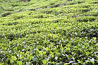 Seychelles, Mahe Island, Tea plantation - KRP000771