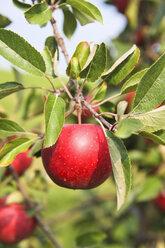 Germany, Hamburg, Altes Land, Ripe apple on apple tree - KRPF000971