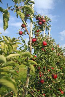 Germany, Hamburg, Altes Land, Ripe apples on apple tree - KRPF000973