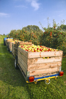 Germany, Hamburg, Altes Land, apple picking - KRPF000977